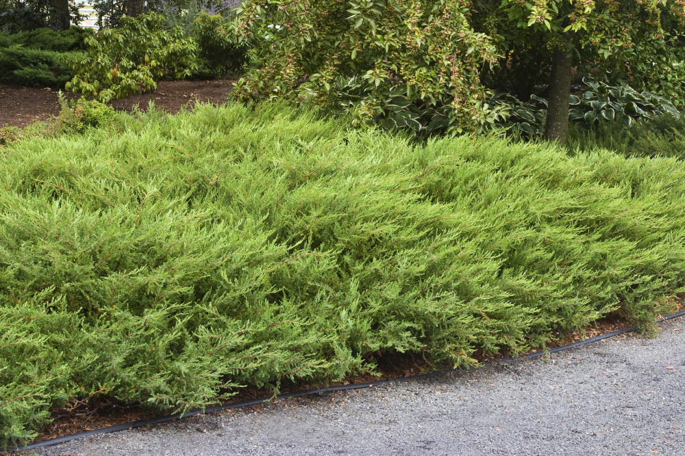 Alpine Carpet Juniper