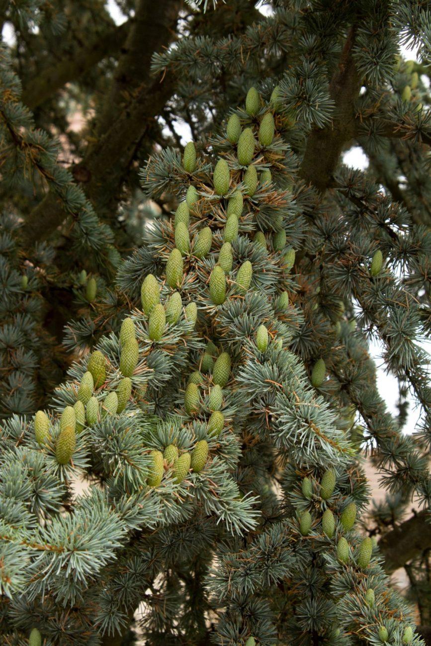 Blue Atlas Cedar