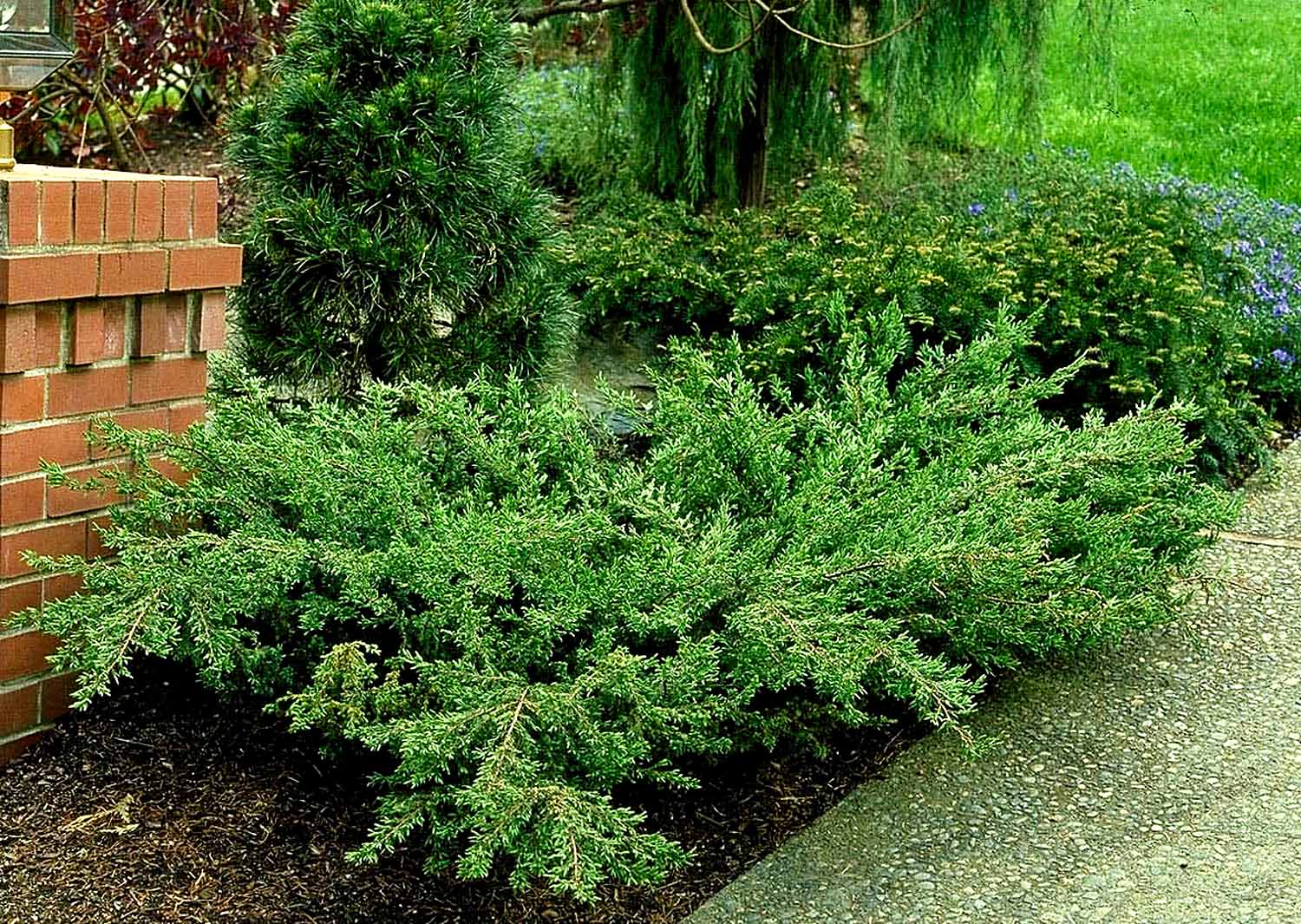 Shrubs combs landscape for Low bushes for landscaping