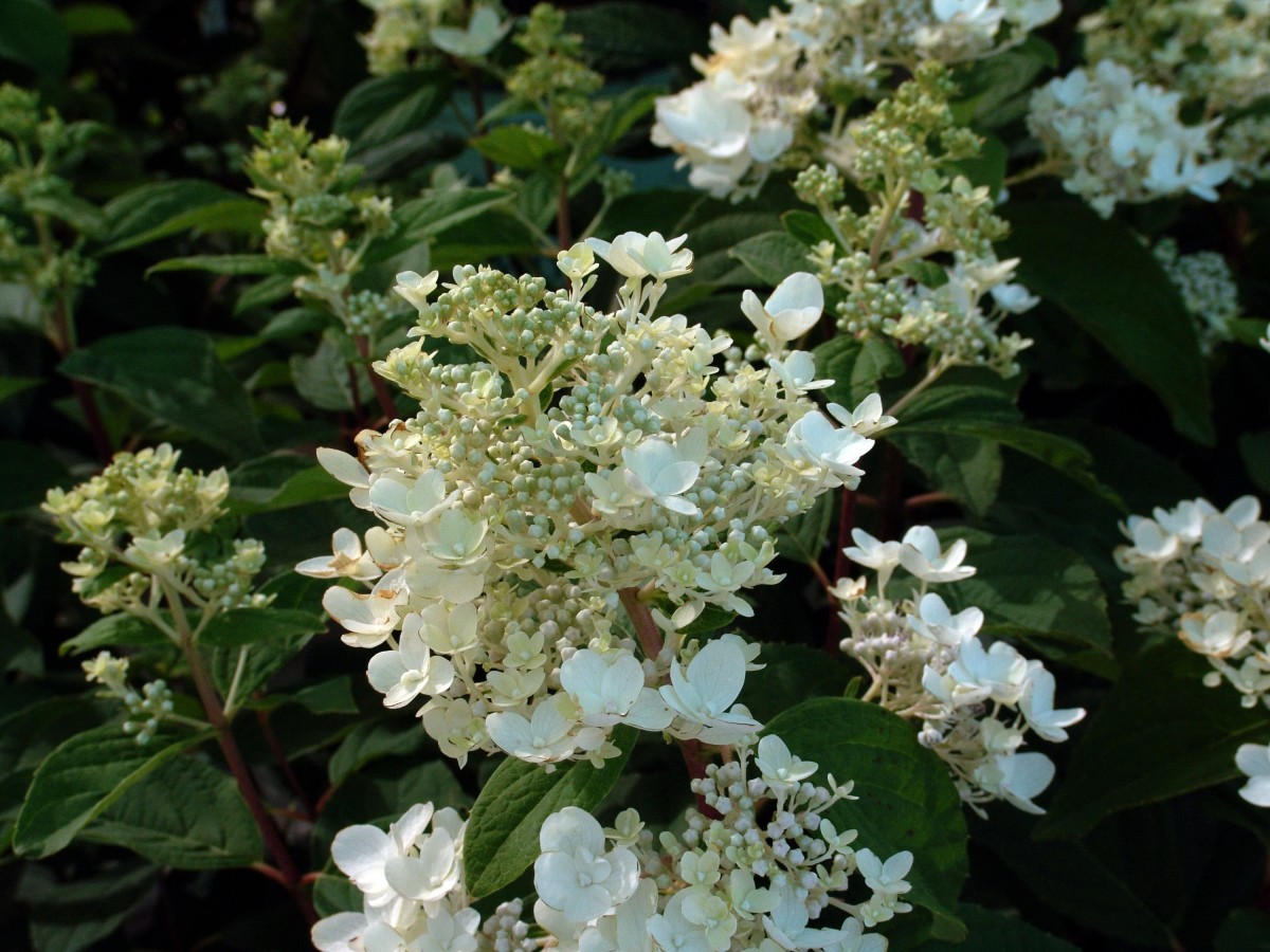 First Editions White Diamonds Panicle Hydrangea