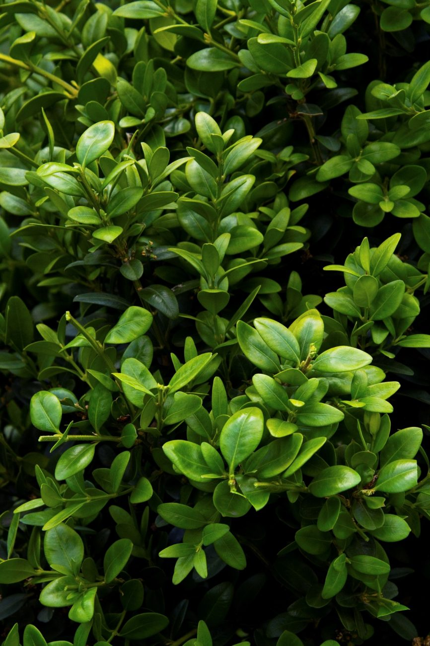 Green Tower Boxwood