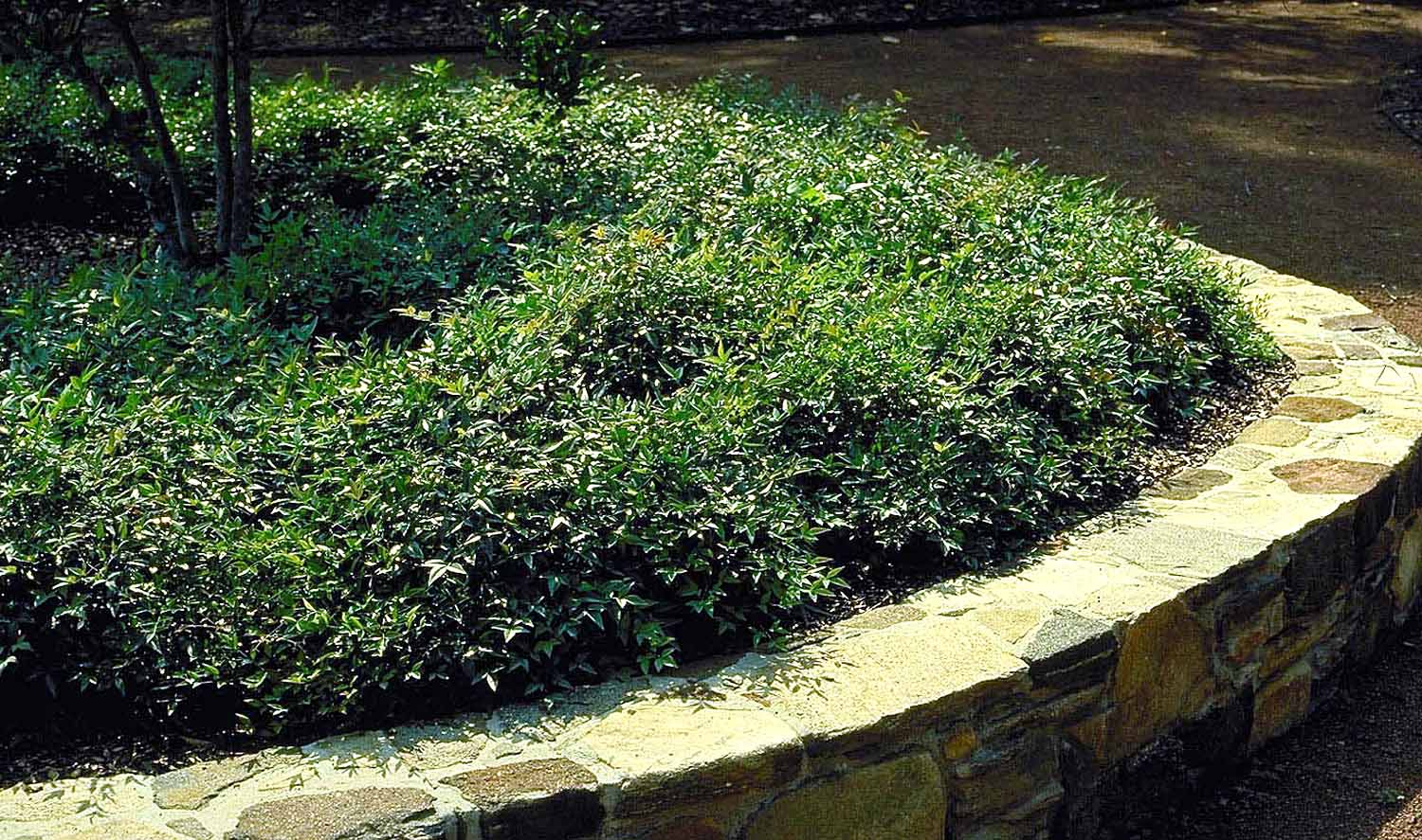 Landscaping With Dwarf Bamboo : Shrubs combs landscape