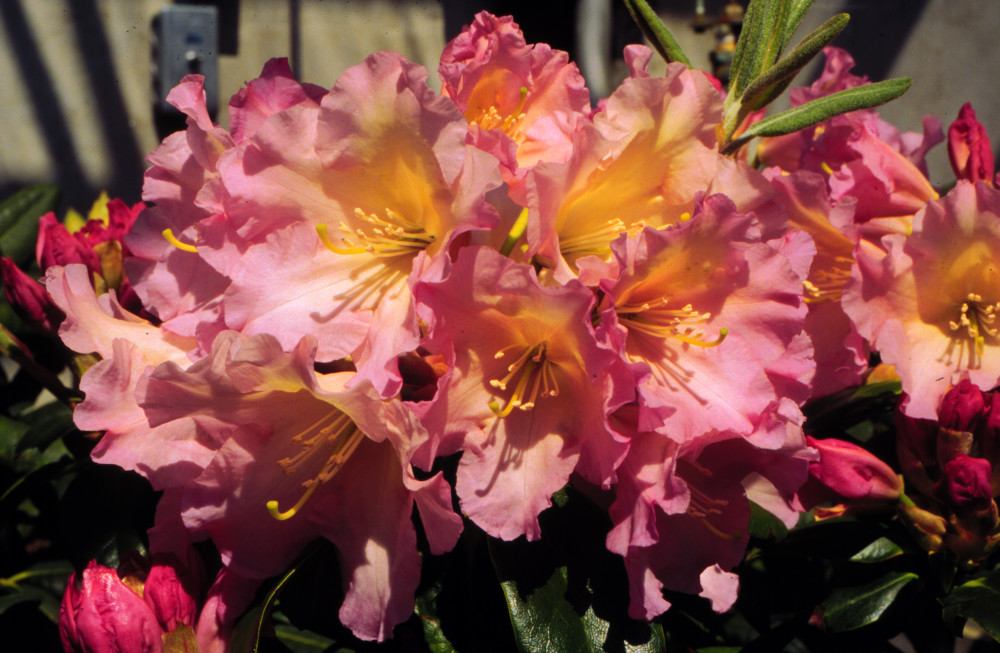 Hoopla Rhododendron