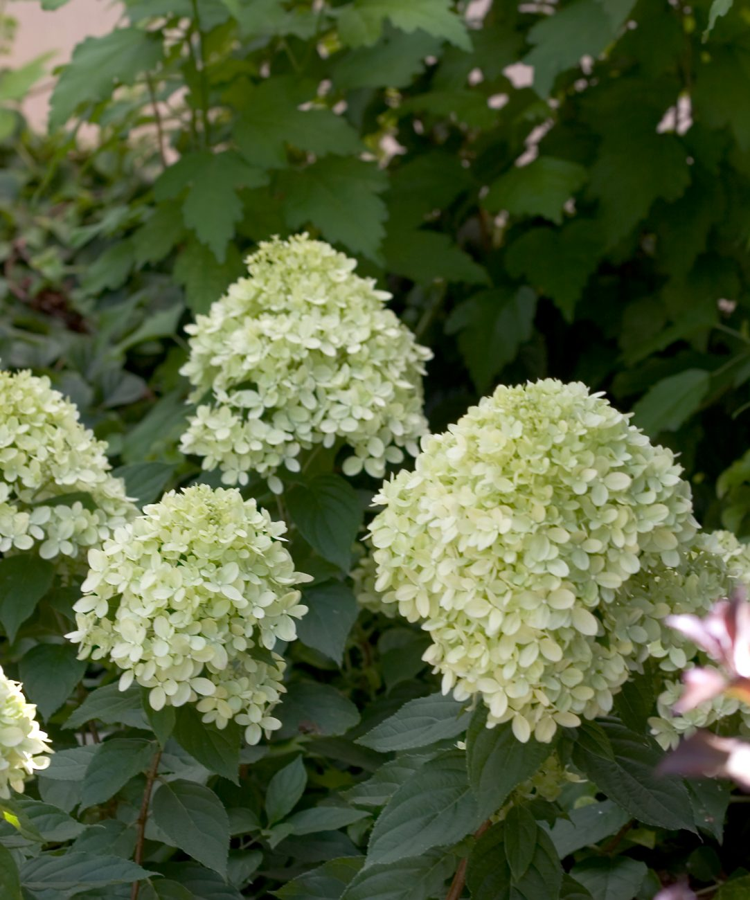 Little Lime Hard Hydrangea