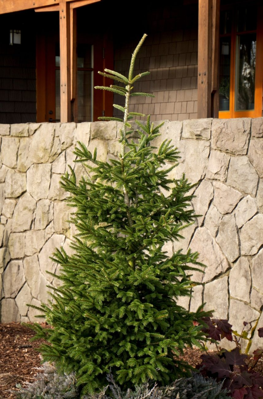 Oriental Spruce