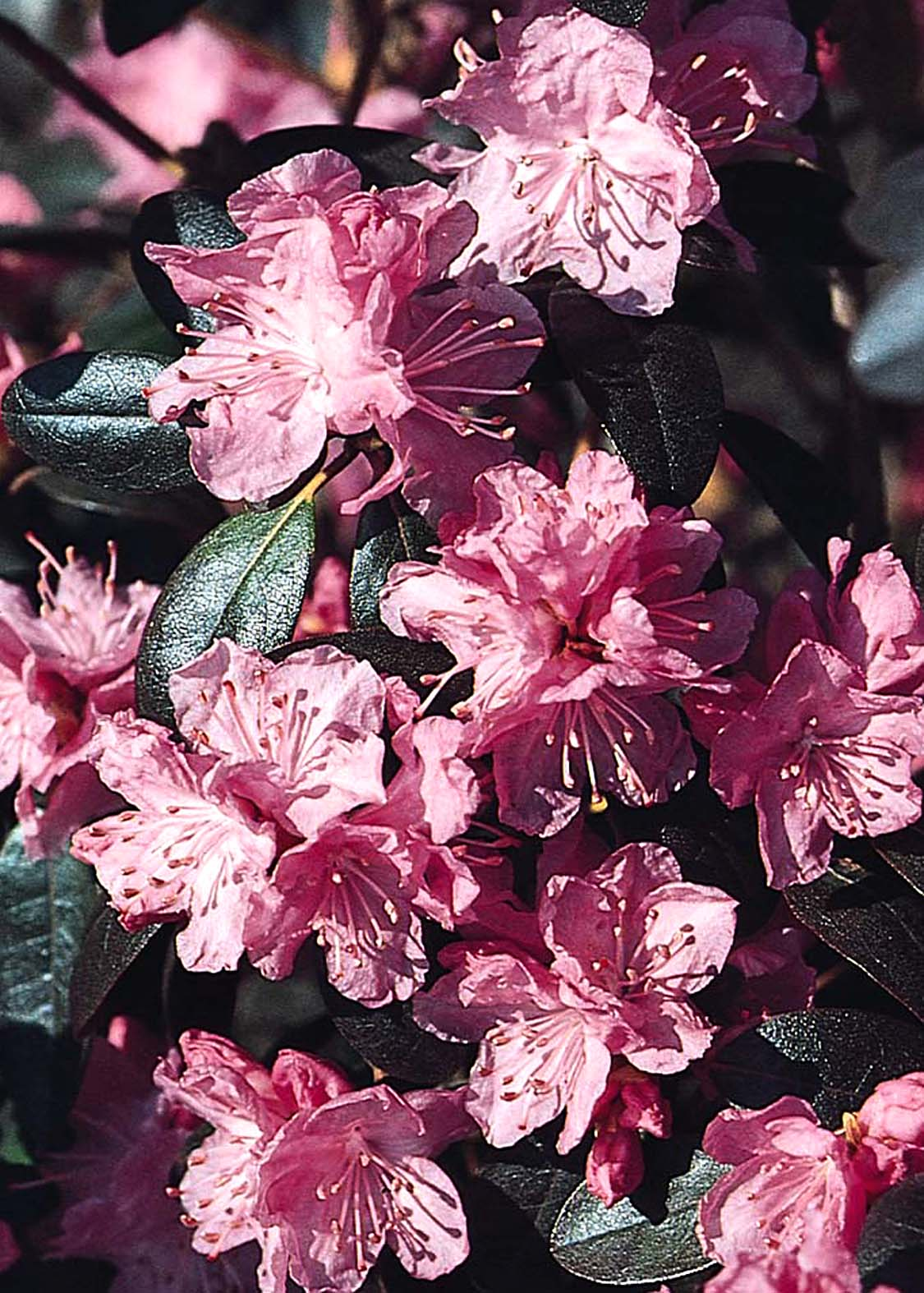 P.J.M. Rhododendron