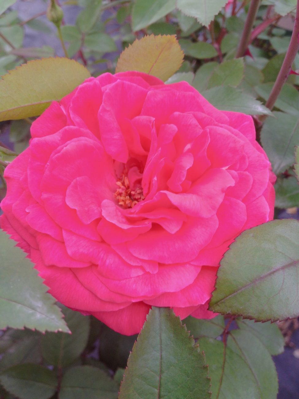Winners Circle Climbing Rose