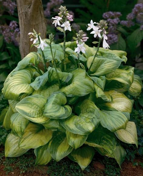 Guacamole Plantain Lily