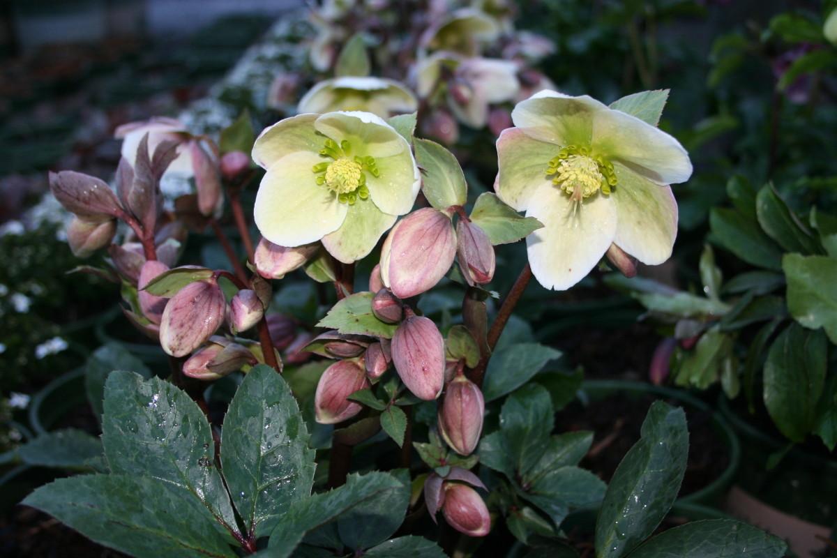 Ivory Prince Lenten Rose