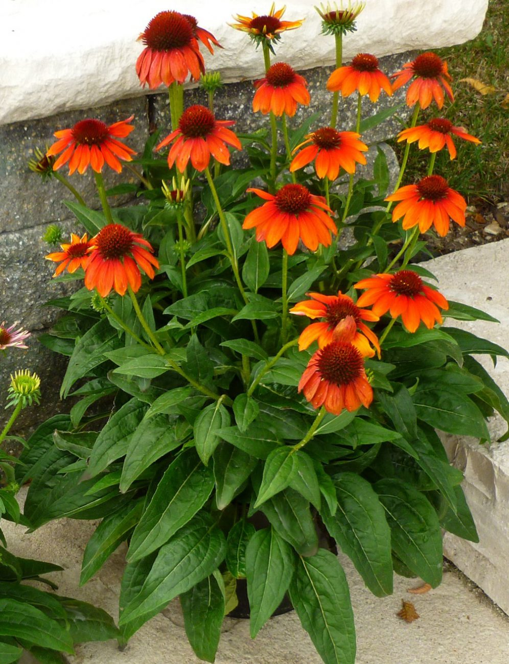 Sombrero Flamenco Orange Coneflower