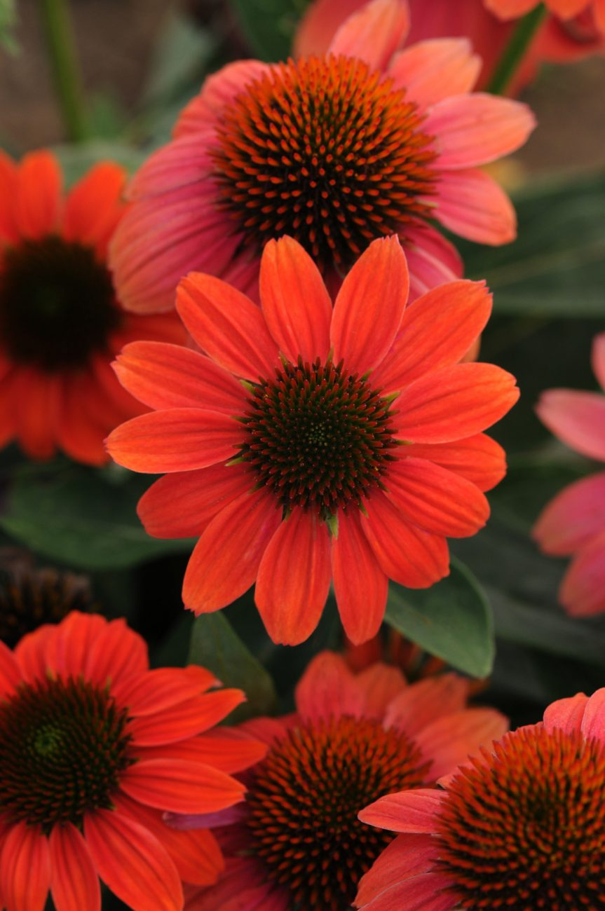 Sombrero Hot Coral Coneflower