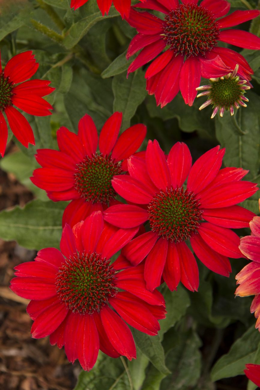 Perennials combs landscape sombrero salsa red coneflower mightylinksfo