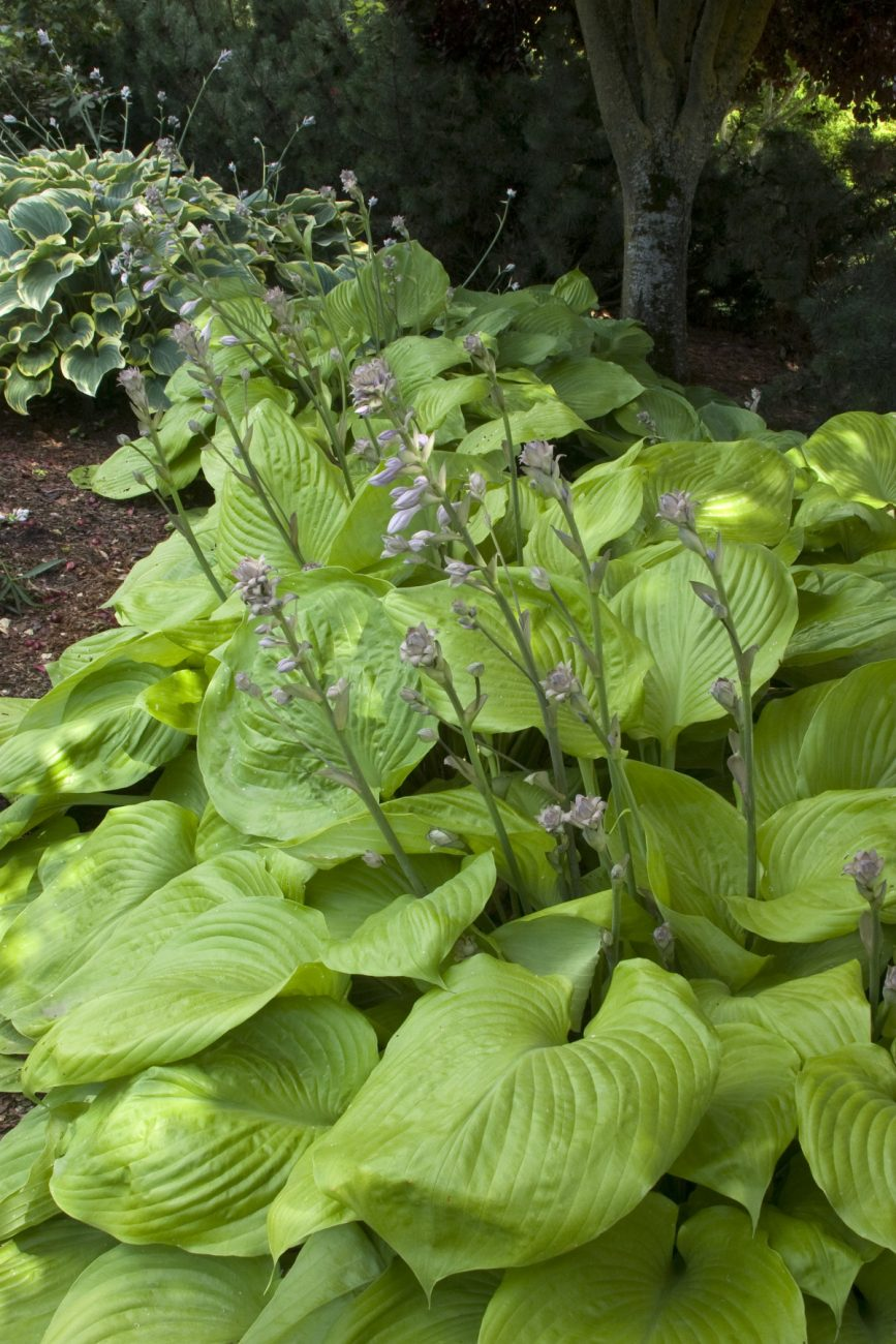 Sum & Substance Hosta