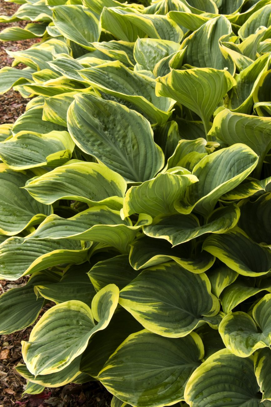Variegated Plantain Lily